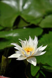 Lotus, río medio Tam de la hoja del loto blanco imágenes de archivo libres de regalías