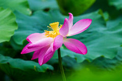 Lotus. After the rain of summer lotus, is my favorite Stock Photography