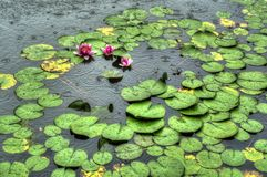 Lotus in rain. Water lilies on a pond during rainy weather. Three flowering lotuses with pink bloom