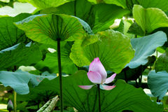 Lotus rare flower Royalty Free Stock Images
