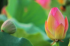 Lotus Ready a abrirse en descensos de rocío Foto de archivo