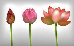 Lotus realistic flowers Stock Images