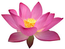 Lotus. Red pink lotus isolated on white background stock photography
