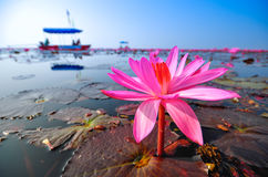 Lotus red and tourist. Famous natural attractions of Thailand Stock Images