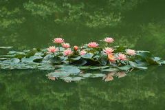 Lotus. Is reflected in the water Royalty Free Stock Photos