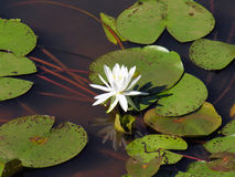Lotus Reflection. A mirror image of the lotus bloom is reflected in the still water below the lily pads stock image