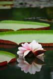 Lotus Reflection Royalty Free Stock Images