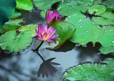 Lotus, Reflexion und Perlen des Regens Lizenzfreies Stockfoto
