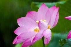 Lotus in regen wordt geslagen die royalty-vrije stock fotografie