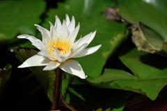 Lotus, rio médio Tam da folha dos lótus brancos Imagem de Stock Royalty Free