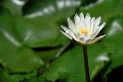 Lotus, rio médio Tam da folha dos lótus brancos Imagens de Stock Royalty Free