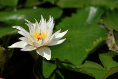 Lotus, rio médio Tam da folha dos lótus brancos Foto de Stock Royalty Free