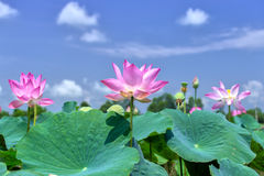 Lotus rising shine in sky stock images