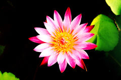 Lotus. In River Pink at garden Royalty Free Stock Images