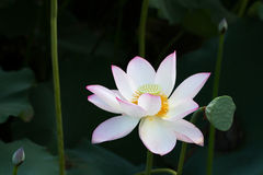 Lotus on the river. A white color lotus on the river Stock Image
