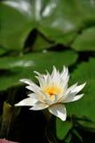 Lotus, rivière moyenne Tam de feuille de lotus blanc Images libres de droits