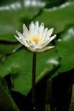 Lotus, rivière moyenne Tam de feuille de lotus blanc Image libre de droits