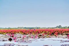 Lotus rojo en el agua del lago foto de archivo libre de regalías