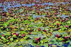 Lotus rojo en el agua del lago imagenes de archivo