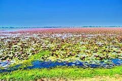 Lotus rojo en el agua del lago imágenes de archivo libres de regalías