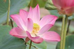 Lotus rosa Immagine Stock