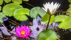 Lotus rosa e bianco nello stagno Immagine Stock Libera da Diritti