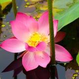 Lotus rosa färgblomma Fotografering för Bildbyråer