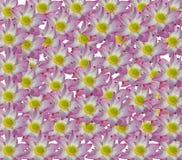 Lotus rosa färger i isolerad vit bakgrund royaltyfri bild