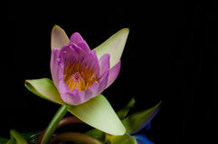 Lotus-Rosa getrimmt mit einem schwarzen Hintergrund Lizenzfreie Stockbilder