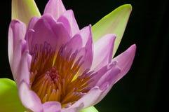 Lotus-Rosa getrimmt mit einem schwarzen Hintergrund Stockfotografie