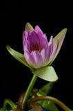 Lotus-Rosa getrimmt mit einem schwarzen Hintergrund Stockfotos