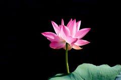 Lotus rosa nel fondo nero Fotografia Stock Libera da Diritti