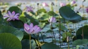 Lotus rosa o waterlily fiore e foglie in lago Fotografia Stock