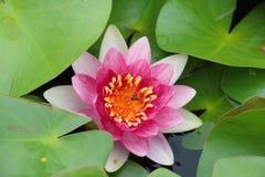Lotus rosa sullo stagno Fotografia Stock