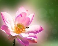 Lotus rosado fotos de archivo