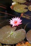 Lotus rosado Foto de archivo