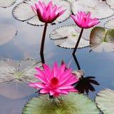 Lotus rosado Fotografía de archivo libre de regalías