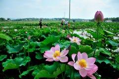 Lotus rosado Imagenes de archivo