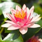 Lotus rosado Imagen de archivo libre de regalías