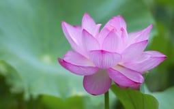 Lotus rosado Imagen de archivo
