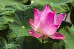 Lotus rosado Imágenes de archivo libres de regalías