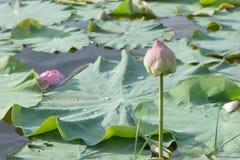 Lotus rosado en la charca Foto de archivo