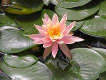 Lotus rosado en verde imágenes de archivo libres de regalías