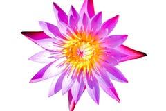 Lotus rosado está floreciendo maravillosamente Foto de archivo libre de regalías