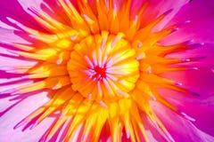 Lotus rosado está floreciendo maravillosamente en d3ia Imágenes de archivo libres de regalías