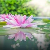 Lotus rosado hermoso, planta de agua con la reflexión imagen de archivo libre de regalías