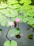 Lotus rosado hermoso, planta de agua con la reflexión en una charca Imagenes de archivo