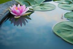 Lotus rosado hermoso, planta de agua con la reflexión en una charca imagen de archivo