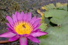 Lotus rosado que florece en la charca Foto de archivo