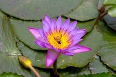 Lotus rosado que florece en la charca Imagen de archivo libre de regalías